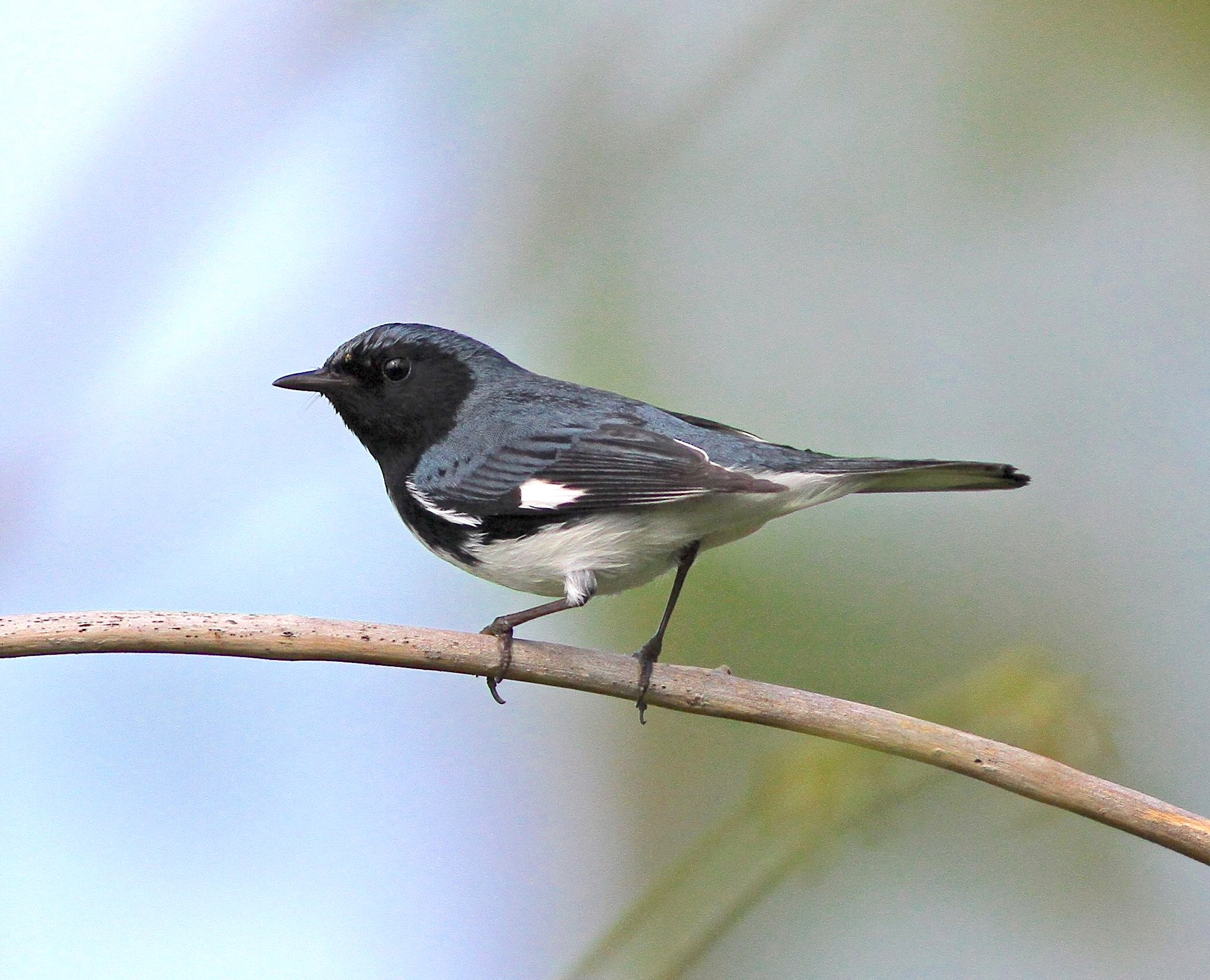 Black-throated blue warbler (Gerlinde Taurer)