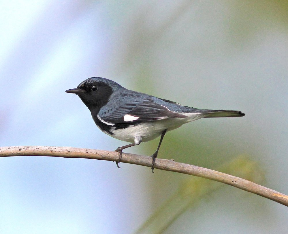 Black-throated Blue Warbler (m), Abaco (Gerlinde Taurer)