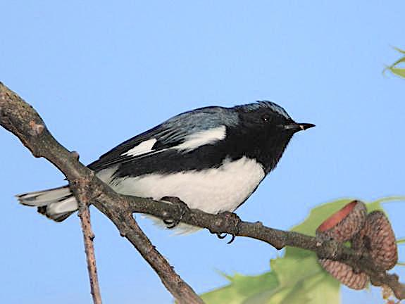 Black-throated Blue Warbler (m) (Blaine Rothauser CWFNJ)