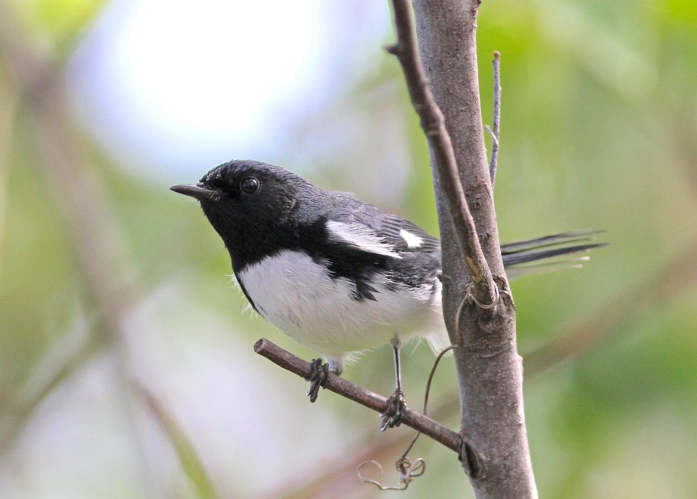 Black-throated Blue Warbler (m), Abaco (Gerlinde Taurer)