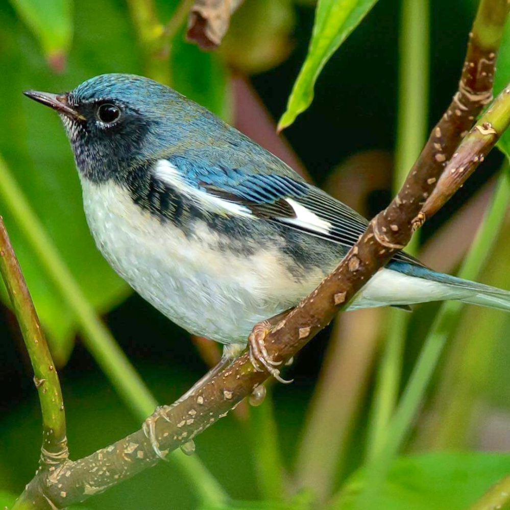 Black-throated Blue Warbler (m) (Paul Reeves / Birds Caribbean)