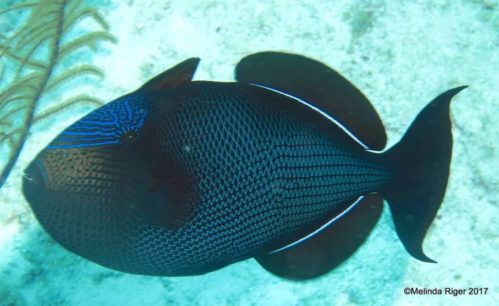 Black Durgon Triggerfish (Melinda Riger / Grand Bahama Scuba)
