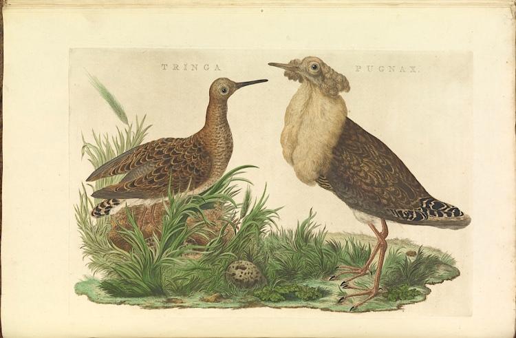 Ruff (Old Print) nederlandsche_vogelen wiki
