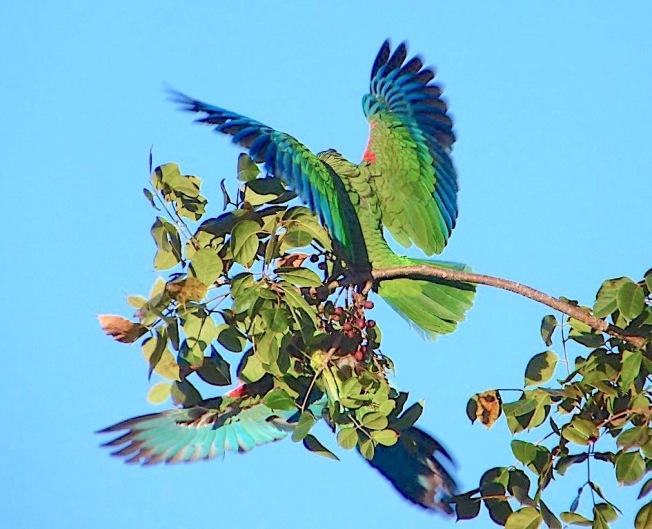 Abaco (Cuban) Parrot Acrobatics (Keith Salvesen))