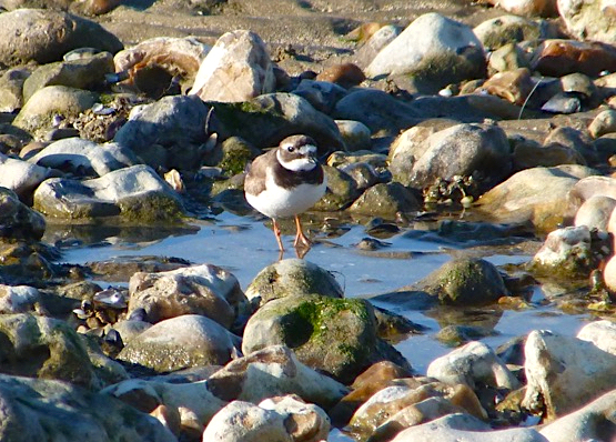 Little Ringer Plover, Normandy France (Keith Salvesen - crop)