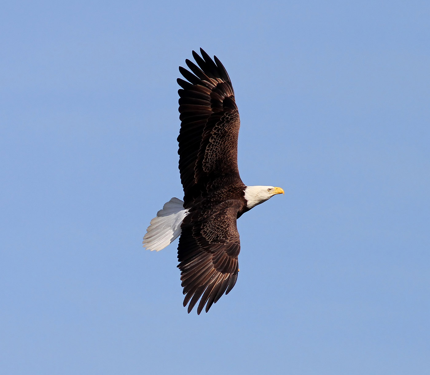 Bald Eagle (Phil Lanoue)