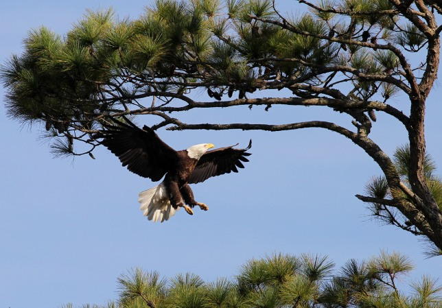 Bald Eagle (Phil Lanoue)