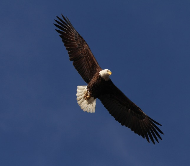 Bald Eagle in flight (Phil Lanoue)