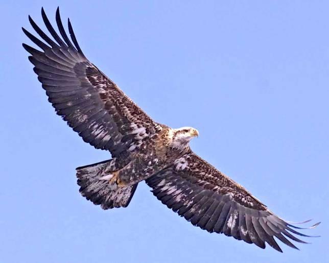 Bald Eagle Juvenile (Audubon)