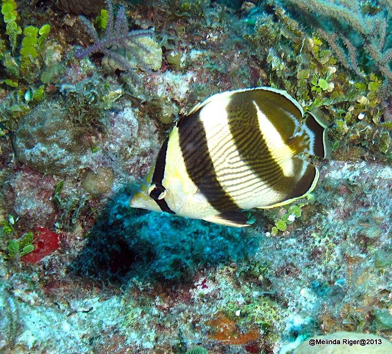 Banded Butterflyfish, Bahamas (Melinda Riger / GB Scuba)