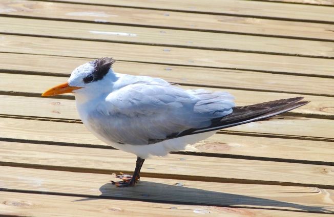 Royal Tern, Long Dock Cherokee Abaco Bahamas (Keith Salvesen)