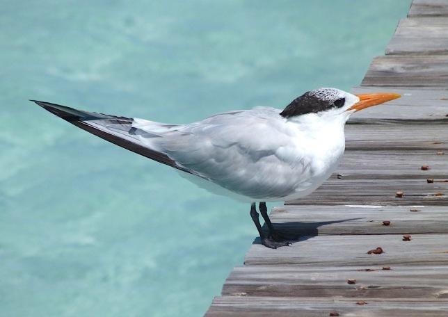 Royal Tern, Long Dock Cherokee Abaco Bahamas (Keith Salvesen)