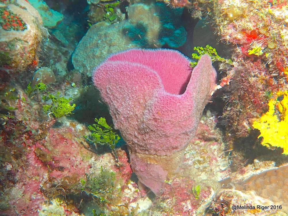 Purple Vase Sponge, Bahamas (Melinda Riger / G B Scuba)
