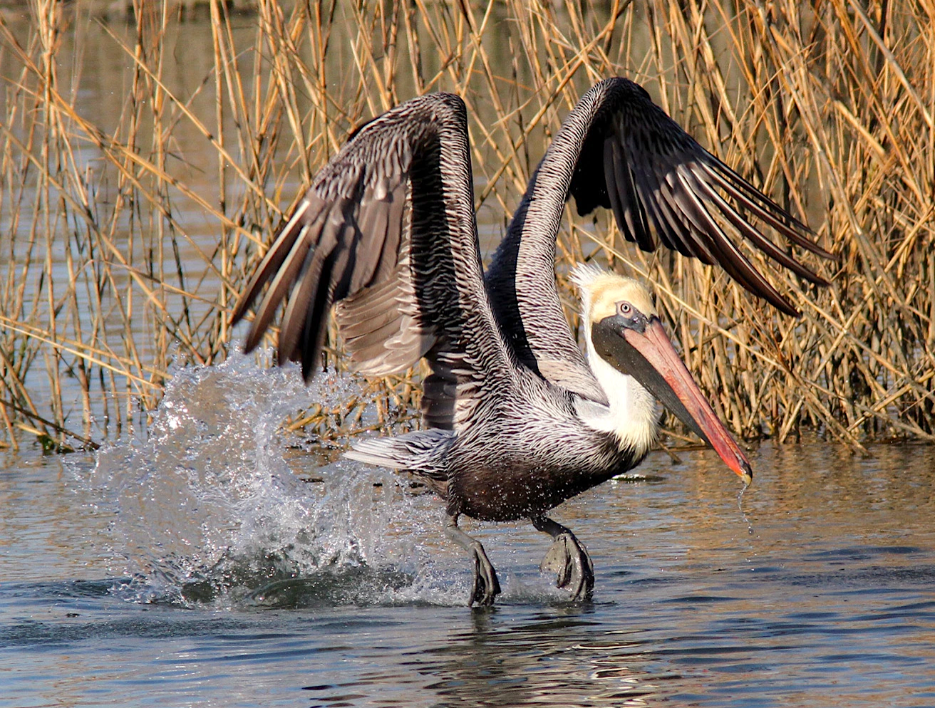 Brown Pelican (Phil Lanoue)