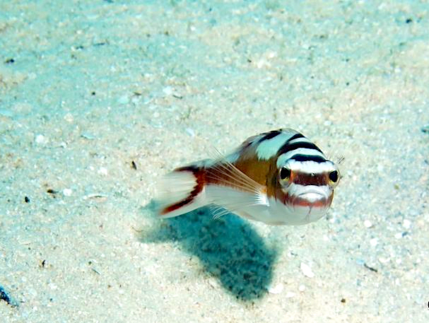 Tobacco Basslet (Serranus tabacarius) Bahamas (Melinda Riger / GB Scuba)