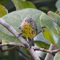 KIRTLAND'S WARBLERS ON ABACO: A FIRST FOR THE CAYS
