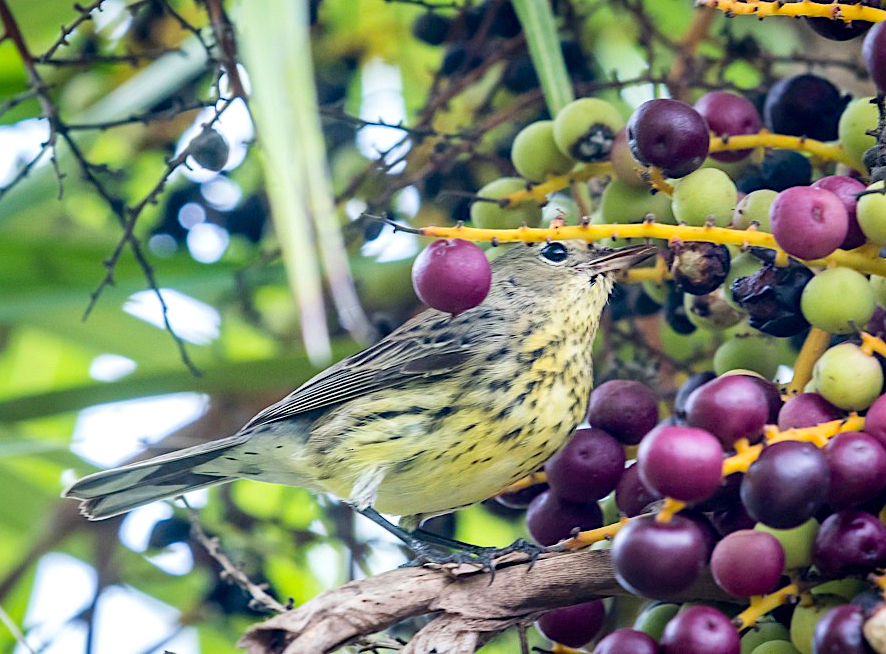 Kirtland's Warbler, Elbow Cay Abaco Bahamas (Sally Chisholm)