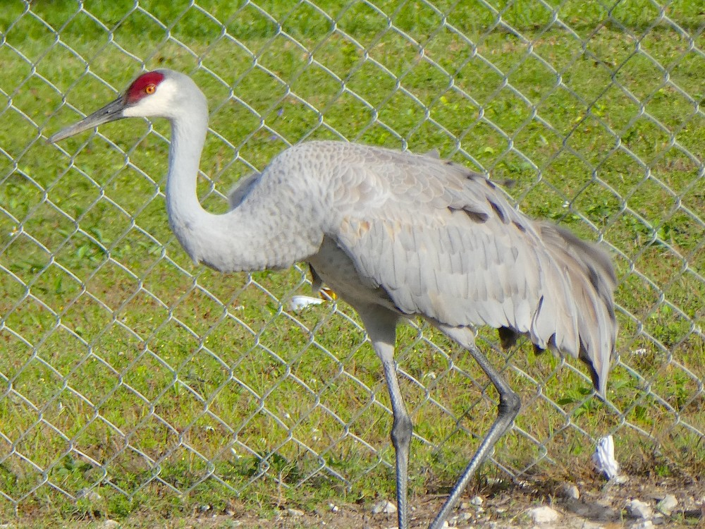 Sandhill Crane, Abaco Bahamas - a first-ever sighting (Elwood Bracey)