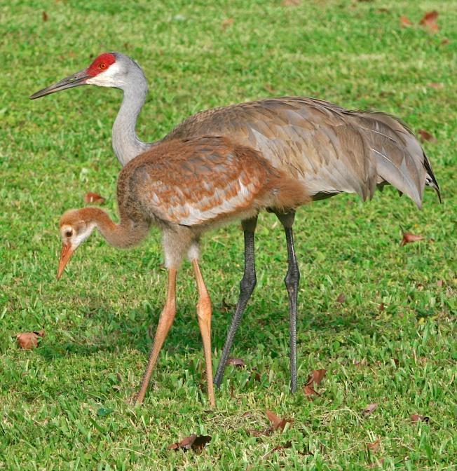 Snadhill Crane (birdphotos.com)