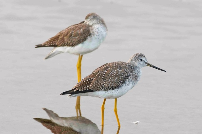 Lesser Yellowlegs Tringa flavipes, Abaco Bahamas (Tom Sheley)