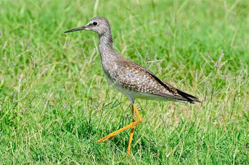 Lesser Yellowlegs Tringa flavipes, Abaco Bahamas (Tony Hepburn)