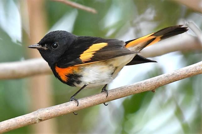 American Redstart (m), Bahamas (Chris Johnson)