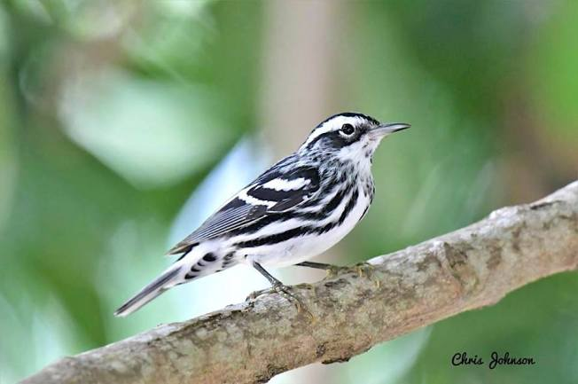 Black-and-white Warbler, Bahamas (Chris Johnson)