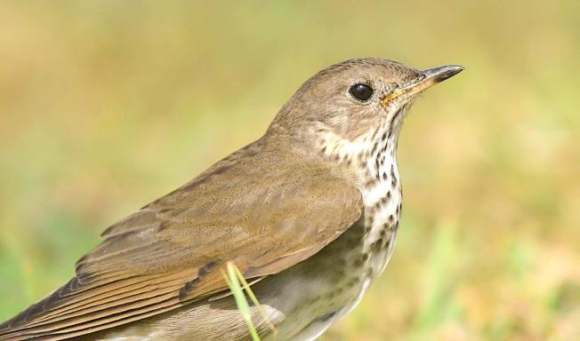 Hermit Thrush, Bahamas (Chris Johnson)