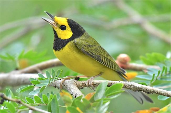 Hooded Warbler, Bahamas (Chris Johnson)