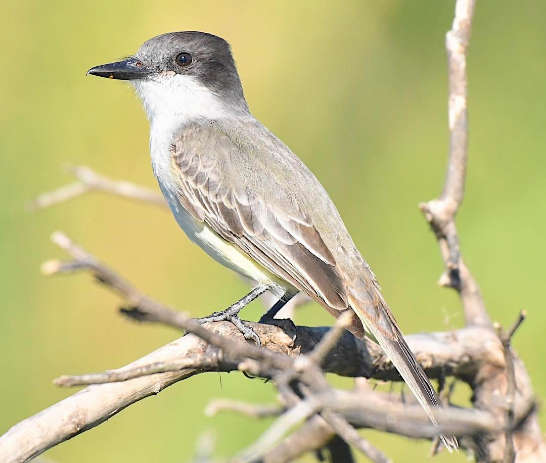 Loggerhead Kingbird, Bahamas (Chris Johnson)