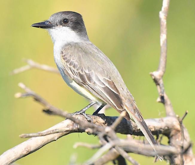 Loggerhead Kingbird, Bahamas (Chris Johnson)