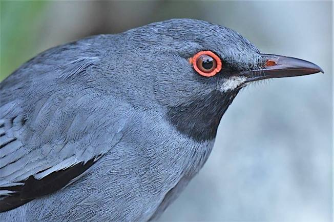 Red-legged Thrush, Bahamas (Chris Johnson)