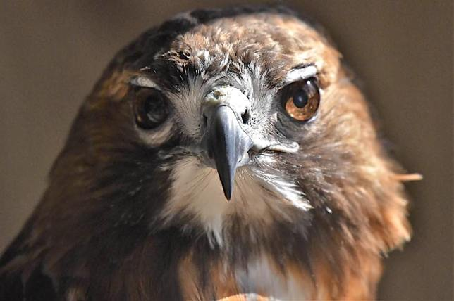Red-tailed Hawk, Bahamas (Chris Johnson)