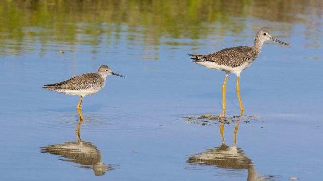 Greater & Lesser Yellowlegs Comparison (Matt Scott)