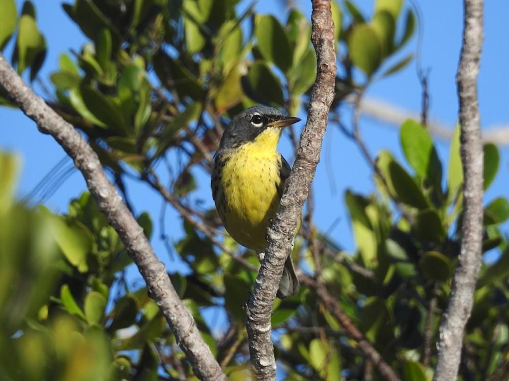 Kirtland's Warbler, Abaco, Bahamas (Woody Bracey)
