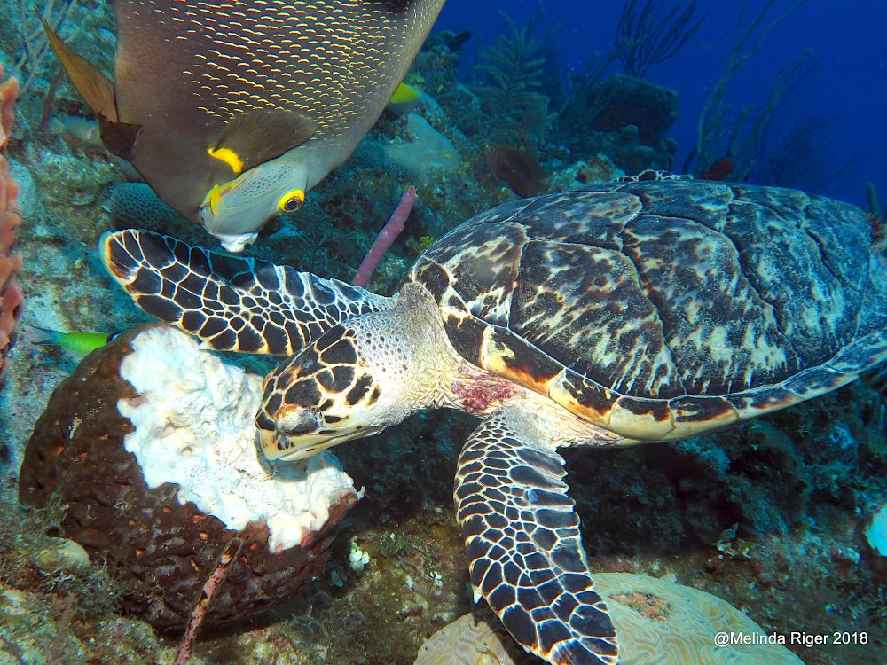 Hawksbill Turtle with French Angelfish, Bahamas (Melinda Riger / G B Scuba)