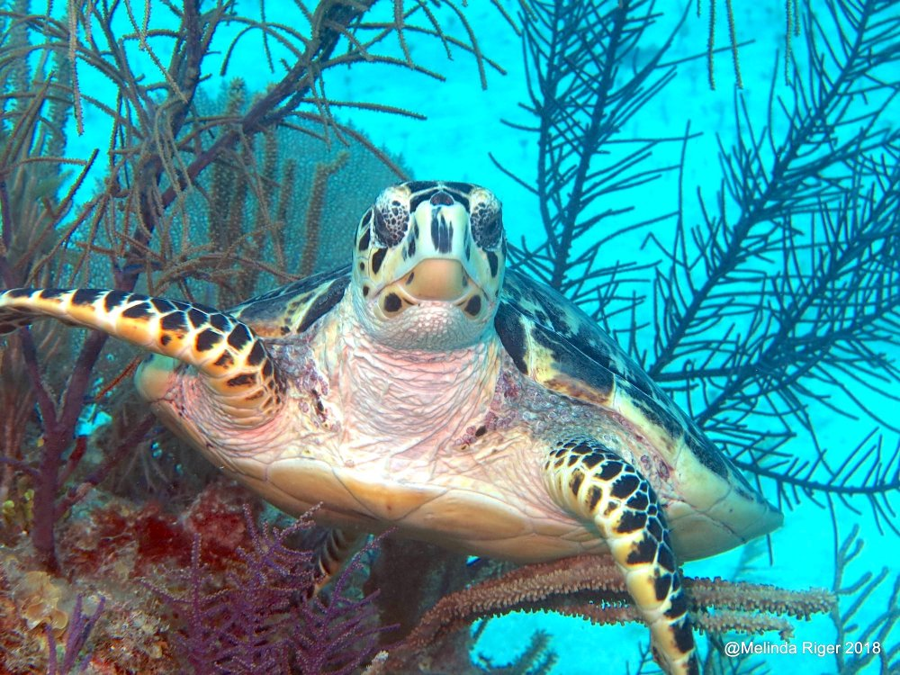 Hawksbill Turtle Bahamas (Melinda Riger / G B Scuba)