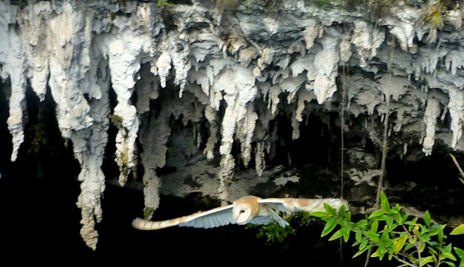 Barn Owl flying out of a cave on Abaco (Nan Woodbury / Rolling Harbour)