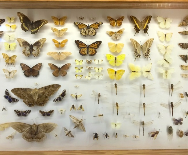 Cased butterflies, Natural History Museum Abaco Bahamas (Keith Salvesen / Abaco Field Office AMMC)