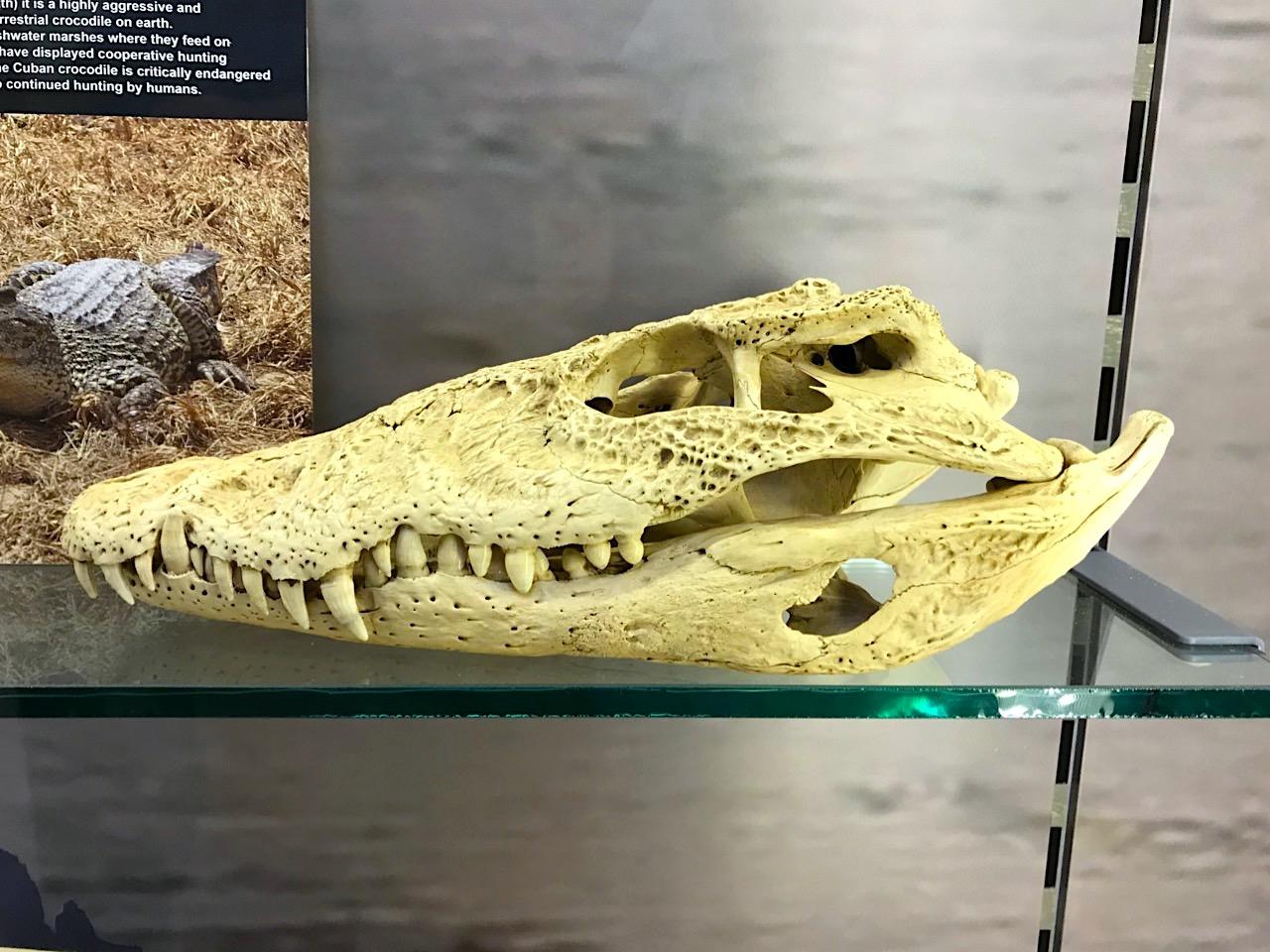 Prehistoric crocodile skull fossil, Abaco Bahamas (Keith Salvesen / Abaco Field Office AMMC)