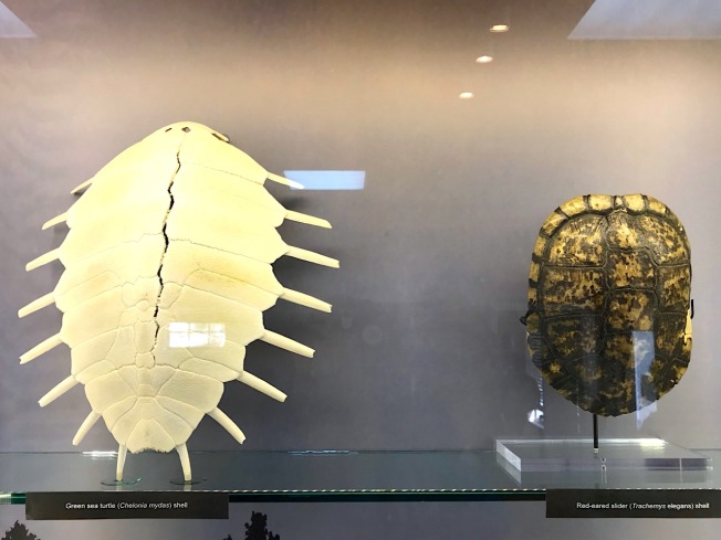 Fossil / ancient turtle shells, natural history museum Abaco (Keith Salvesen / Abaco Field Office AMMC)