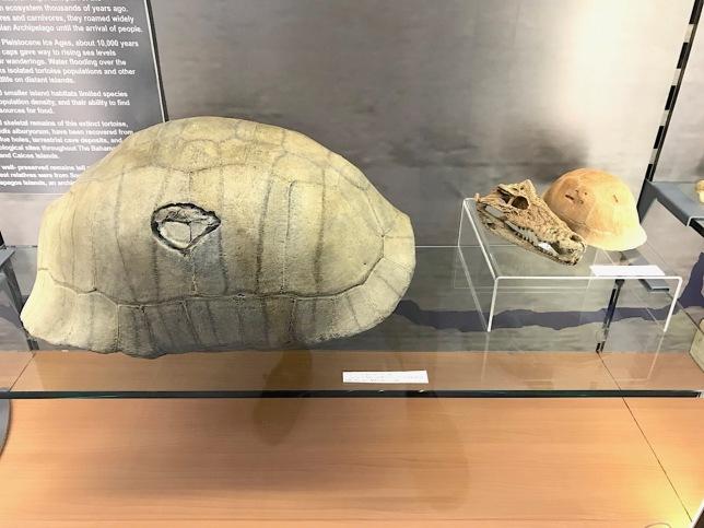 Turtle shells & Prehistoric crocodile skull fossils, Abaco Bahamas (Keith Salvesen / Abaco Field Office AMMC)
