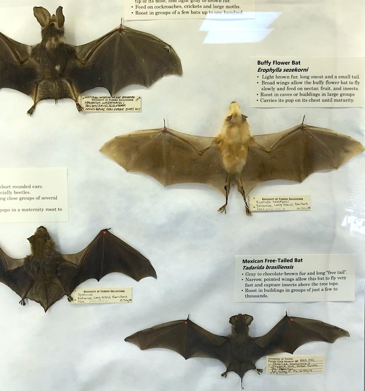 Display of bats, Natural History Museum Abaco Bahamas (Keith Salvesen / Abaco Field Office AMMC)