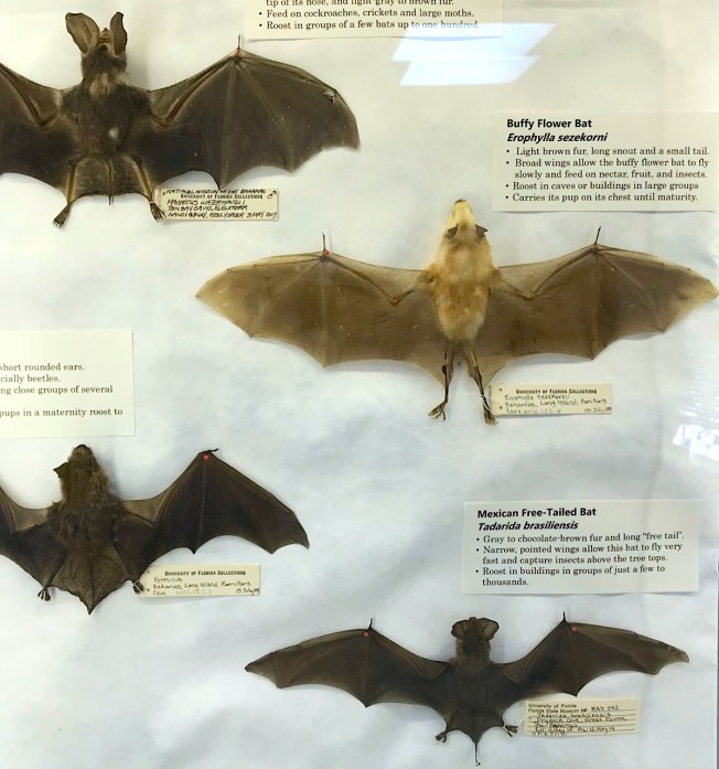 Display of bats, Natural History Museum Abaco Bahamas (Keith Salvesen / Abaco Field Office AMMC)