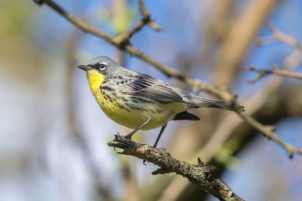 Kirtland's Warbler (Andrew C, Ohio wiki)