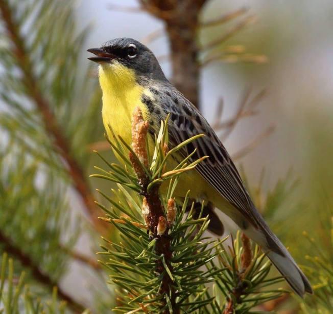 Kirtland's Warbler, Michigan (Vince Cavalieri)