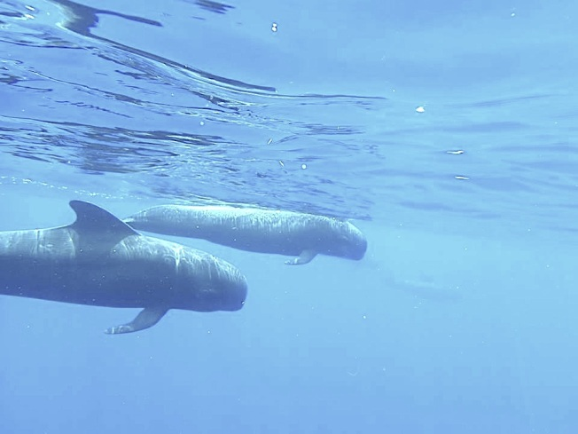 Pilot Whales, Abaco Bahamas (BMMRO / Rolling Harbour)