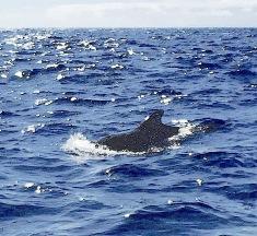 Pilot Whales, La Gomera, Canary Isles (Rolling Harbour / YN)