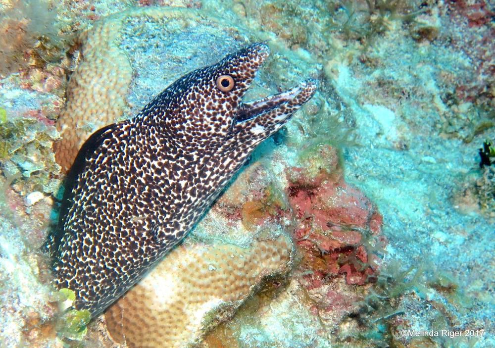 Spotted Moray Eel (©Melinda Riger / Grand Bahama Scuba)