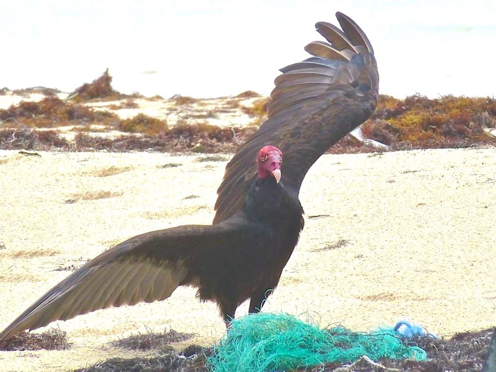 Turkey Vulture, Abaco Bahamas (Clare Latimer)